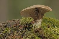 Kuhmaul (Gomphidius glutinosus)