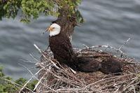 Weisskopseeadler Nest 209.JPG