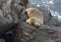 Galapagos Seelöwe (Zalophus wollebaeki) schläft auf Lavafelsen, Floreana, Galapagos Inseln, Ecuador