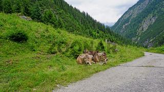 Kühe in den Alpen