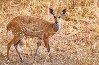 Buschbock, Schirrantilope, South Luangwa Nationalpark, Sambia, (Tragelaphus scriptus) |  Bushbuck, South Luangwa National Park, Zambia, (Tragelaphus scriptus)