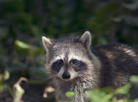 Cute wild raccoon looking out