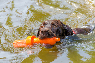 Labrador dog with rubber toy swimming in water