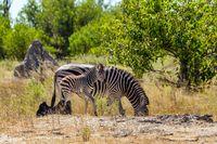 Zebra calf in bush, Botsvana Africa wildlife