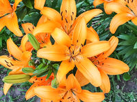 Lilies growing in the flowerbed