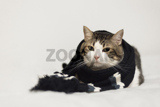 Funny cat wearing a warm scarf. Lying  on a blanket. Winter season concept.