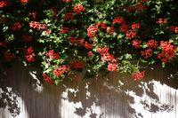 Rote Balkonblumen