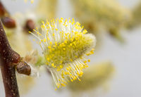 Pussy willow full of pollen