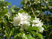 big white flowers of apple