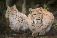 Two lynxes are waiting tensely in the forest