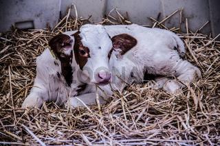Kühe in der Stallung