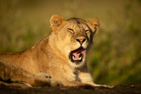 Lioness lies yawning on rock in sunshine
