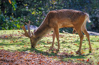 Male fallow deer browsing in the forest