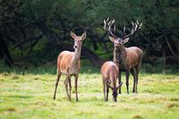 Red deer herd with stag sniffing for scents of hind during rutting season