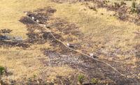 Zebra in the grassy nature, evening sun, aerial view