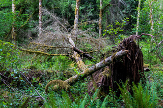 Fallen tree in a lush green forest uprooted with moss