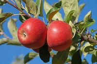 Rote Äpfel 4
