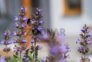 Hummel bei der Bestäubung und Nektarsuche an blühender Lavendel