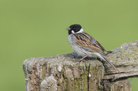 Rohrammer Maennchen, Emberiza schoeniclus, Male Common Reed Bunting