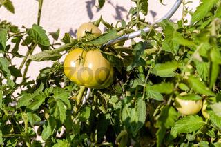 Grüne Tomate an einer Staude