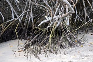Atemwurzeln (Pneumatophoren),Schwarze Mangrove (Avicennia germinans),Insel Isabela, Galapagos Inseln