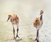Sandhill Crane Chicks walking