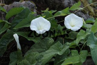 Gewoehnliche Zaunwinde (Calystegia sepium)