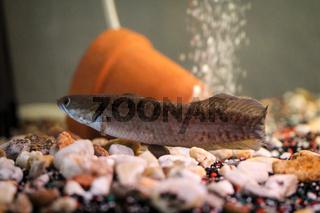 Schlamkopf im Aquarium