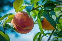 close up peach