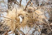 Nest of a weaver