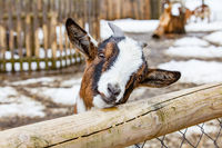 Portrait of a cute young small goat