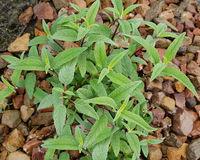 Salbei, Samt-, Salvia leucanhe