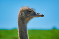 Portrait of Ostrich
