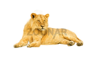 Female Lion isolated
