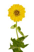Gelbe Zinie (Zinnia violacea), freigestellt