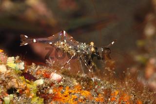 Cleaner shrimp, Urocaridella antonbruunii