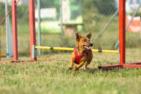 A young brown mixed breed dog learns to jump over obstacles in agility training. Age almost 2 years.