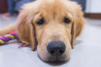 Young golden retriever puppy playing in room. Indoor photo of friendly dog.