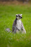 A lemur sits alone in the grass outdoors