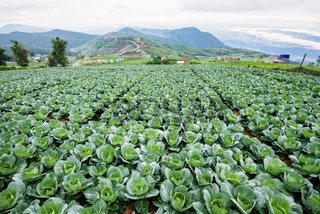 Cabbage rows in cultivation plot