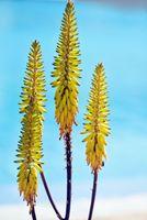 Echte Aloe Vera Blüte
