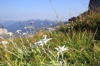 mehrere Edelweißblumen mit Bergen im Hintergrund