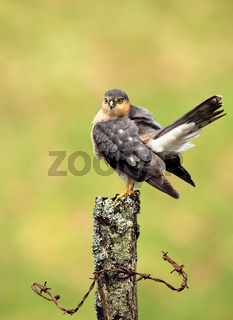Eurasian Sparrowhawk preening on a wooden post