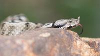 Zuengelnde Viper
