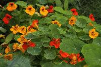 Kapuzinerkresse (Tropaeolum)