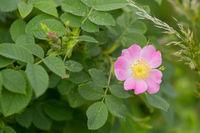 Rose hip or rosehip flower