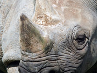 full frame close up of the face of a black rhinoceros with eye and horn