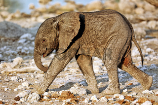 Sehr junger Elefant, Etosha-Nationalpark, Namibia, (Loxodonta africana)   very young elephant, Etosha National Park, Namibia, (Loxodonta africana)