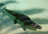Huge adult crocodile
