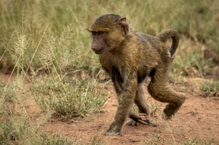 Baby olive baboon walks through long grass
